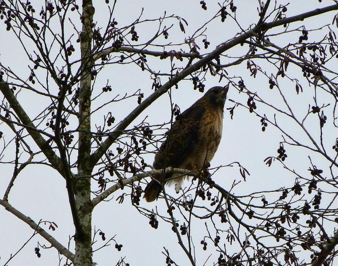 2013 01 29 Hawk 1